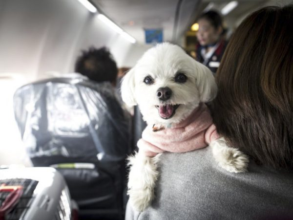 White dog with a pink sweater laying over his owner's shoulder while riding on an airplane.
